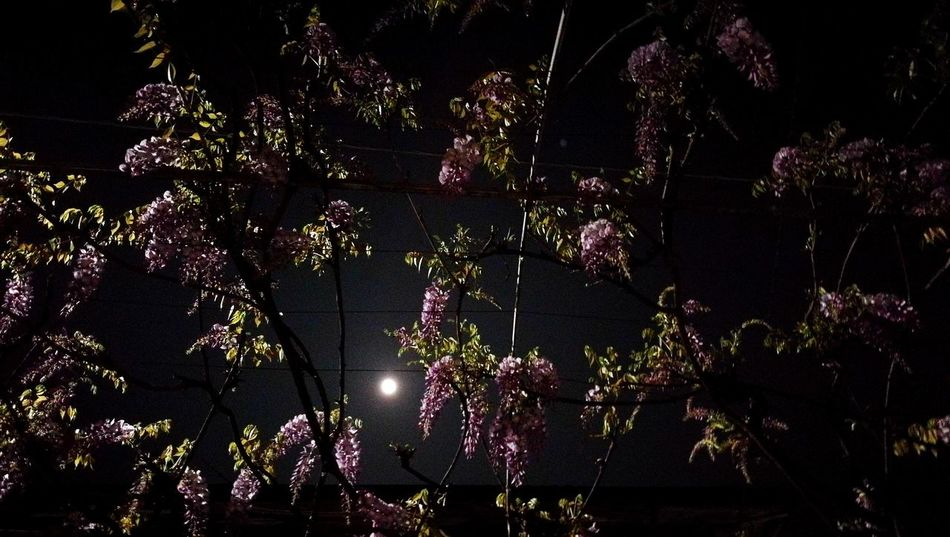 EyeEmNewHere Night Low Angle View Illuminated Sky Tree Outdoors Nature Beauty In Nature Moon Glicine Wisteria Flower Wisteria Flower Violet