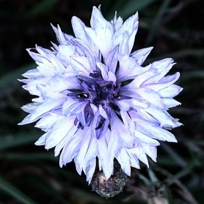 Beauty In Nature Blooming Close-up Day Flower Flower Head Focus On Foreground Focused Fragility Freshness Growth Nature No People Outdoors Petal Plant Purple Purple Flower
