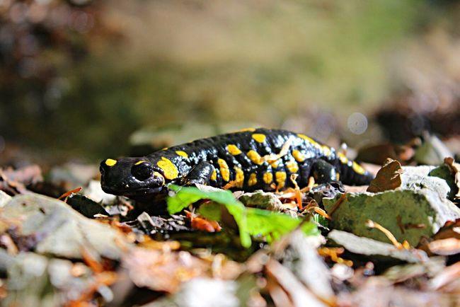 Salamander Camping Nature