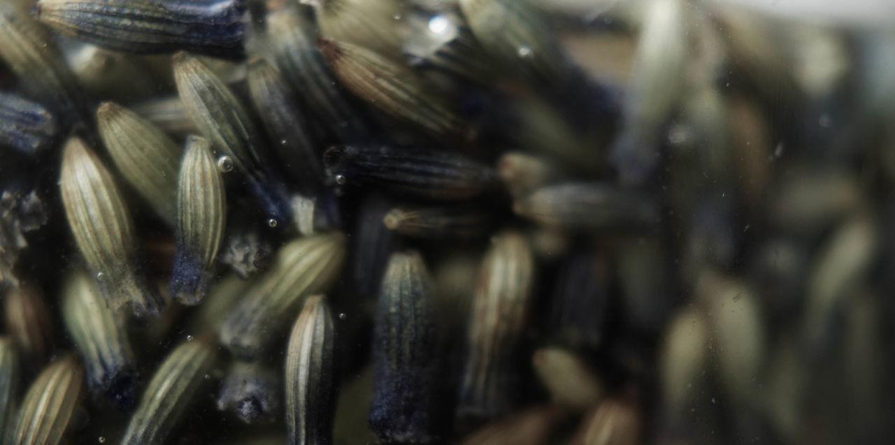 Botanical Close-up Flower Herbal Herbal Medicine Herbalism InFusion Lavender Macro Oil