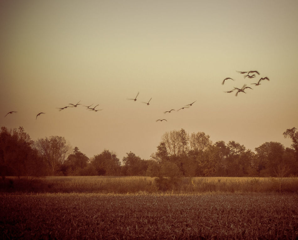 Bird Flying Field Animal Themes Animals In The Wild Flock Of Birds Tranquil Scene Tranquility Rural Scene Beauty In Nature Early Fall Outdoors Movement Flight Leaving