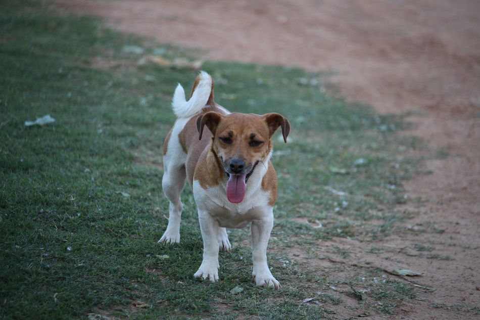 Animal Themes Dog Full Length Jack Russell Terrier One Animal Outdoors Pets Tounge Out