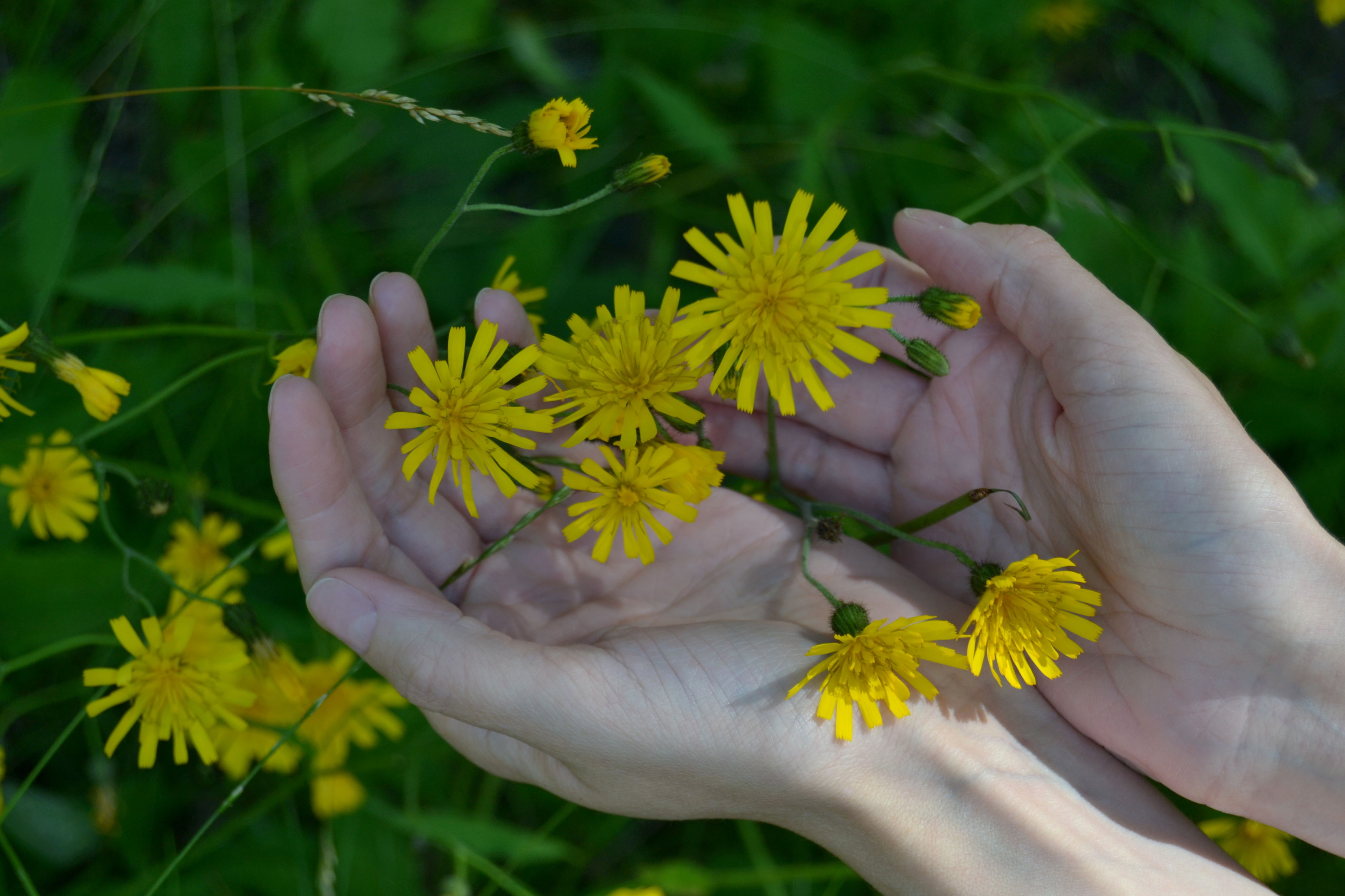 flower, human hand, human body part, real people, holding, one person, petal, fragility, flower head, nature, beauty in nature, plant, freshness, outdoors, growth, day, green color, close-up, leaf, yellow, lifestyles, blooming, people
