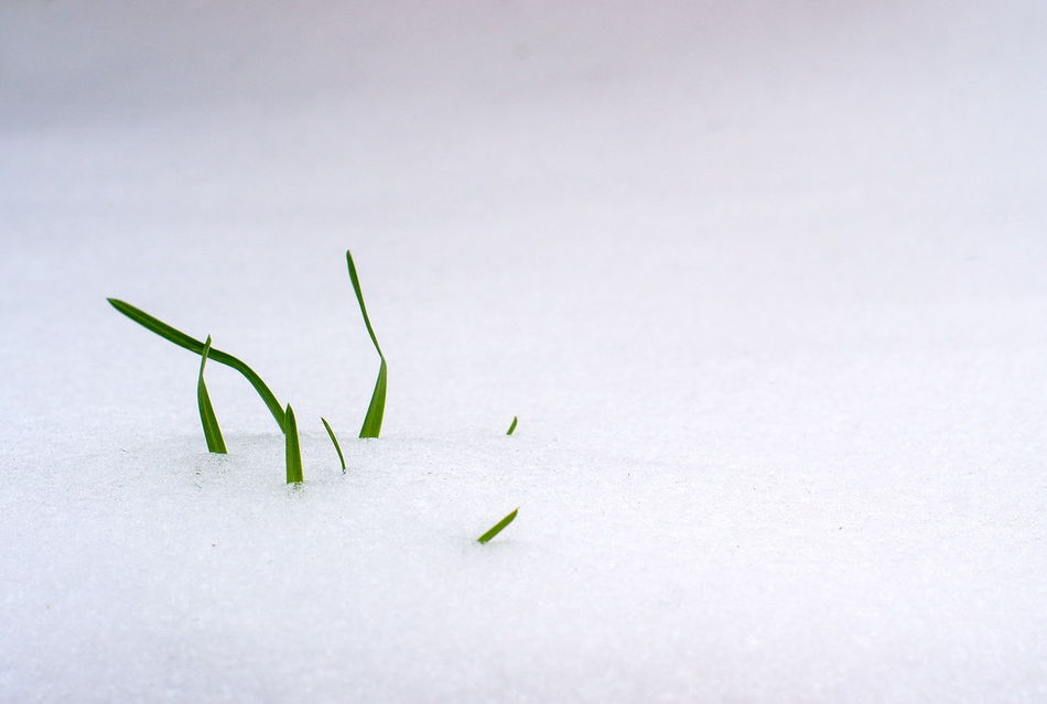 Beauty In Nature Day Freshness Grass Grass In Snow Green Color Growth Leaf Nature No People Snow White Background Winter Cold Cold Winter ❄⛄ Cold Days Macro