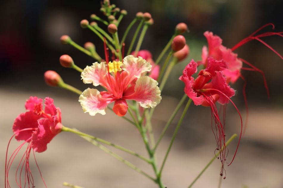 Photographer Photo Flower Plant Growth Nature Beauty In Nature Fragility Petal No People Close-up Flower Head Focus On Foreground Freshness Pink Color Outdoors Day Blooming Popular Beautiful Beauty In Nature India EyeEm Gallery Illuminated