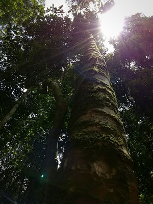 exploring the tropical rainforest Scenics Tree Trunk Branch Rural Scene Photography Tree Nature Wildlife & Nature Traveling Plant NatureReserve Forest Warm Mountain Morning Nature_collection Naturelovers Nature Photography Naturephotography Nature_collection Nature's Diversities