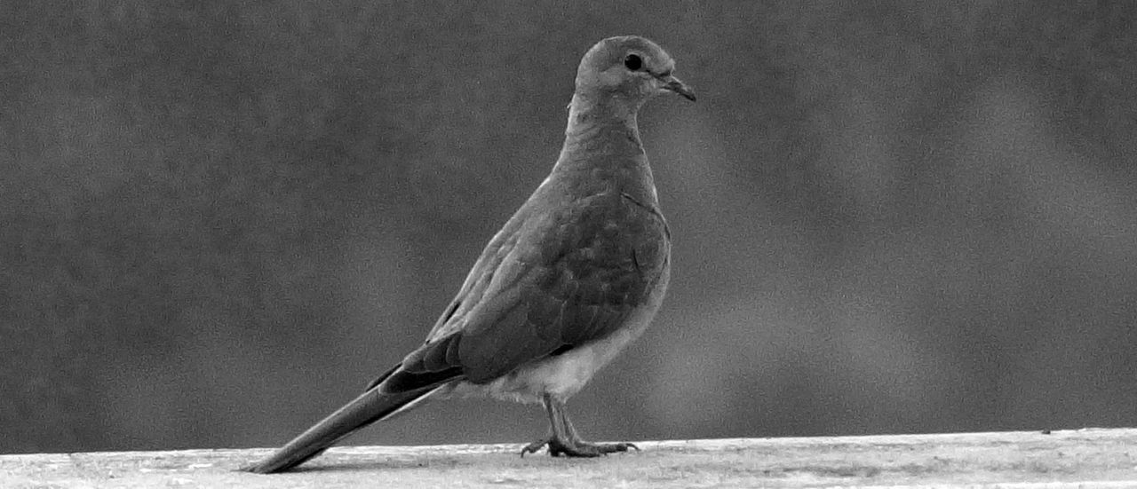 Alertness Animal Animal Themes Animals In The Wild Balance Bird Bird Photography Blackandwhite Close-up Curiosity Dove Focus On Foreground Indian Dove Monochrome Nature Outdoors Pigeon Side View Sony A58 Still VSCO Vscocam Wildlife Wildlife Photography Zoology