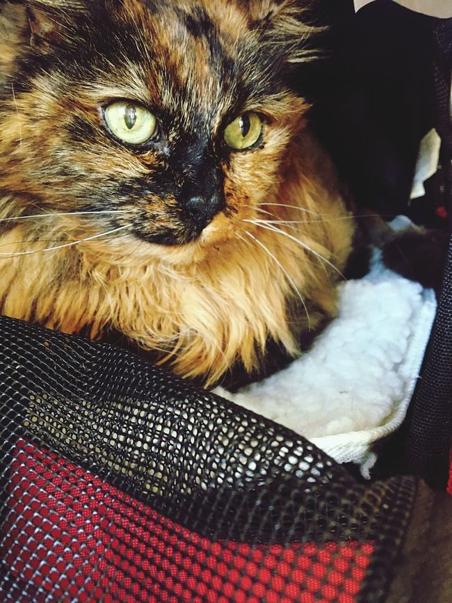 Louise: impatient stare at the vet Littlelion Meow Cats Of EyeEm Lioness Cateyes Louise Eyes