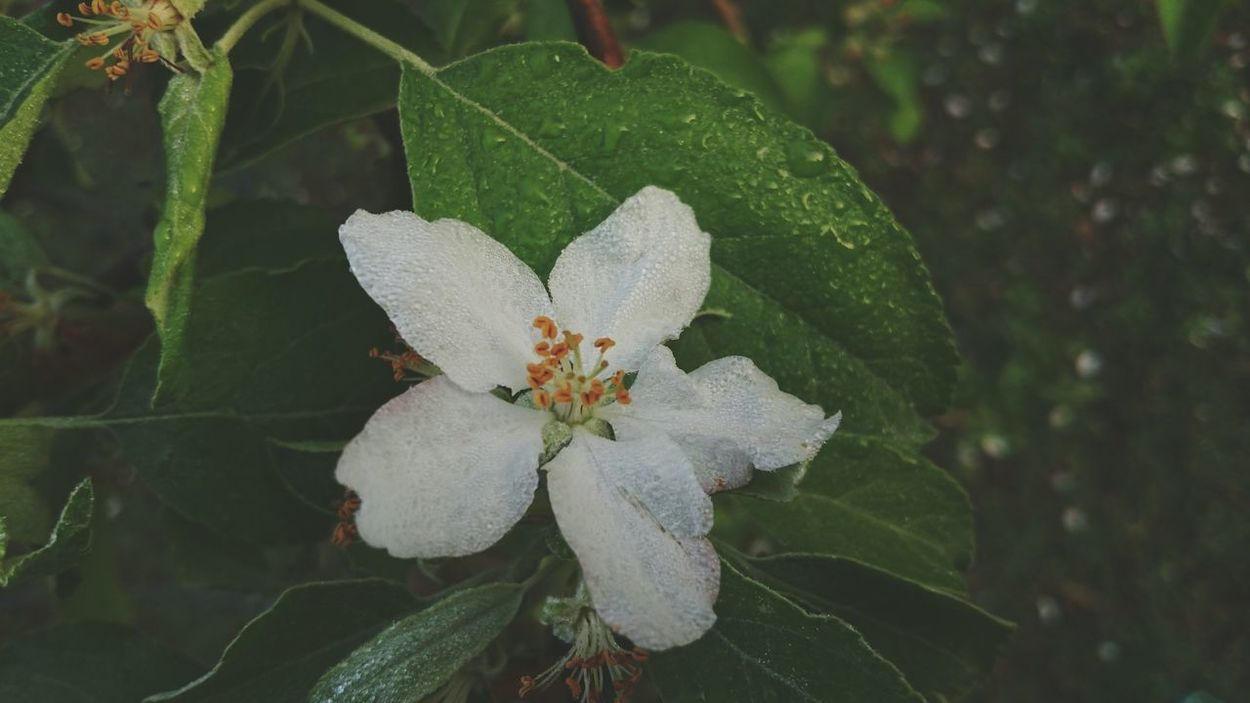 Apple Flowers Water Droplets Spring Flowers Close Up Nature Photography Green Leaves Flower Collection Spring Time Plants EyeEm Nature Lover Open Edits White Flowers Taking Photos EyeEm Best Shots The Great Outdoors