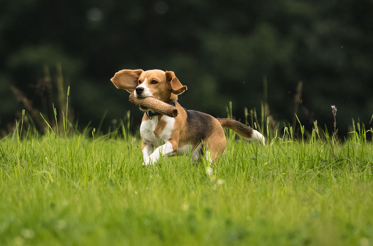 I would wish I can fly Animal Themes Beagle Beauty In Nature Dummy Field Grass Jumpinig No People Running Young Animal