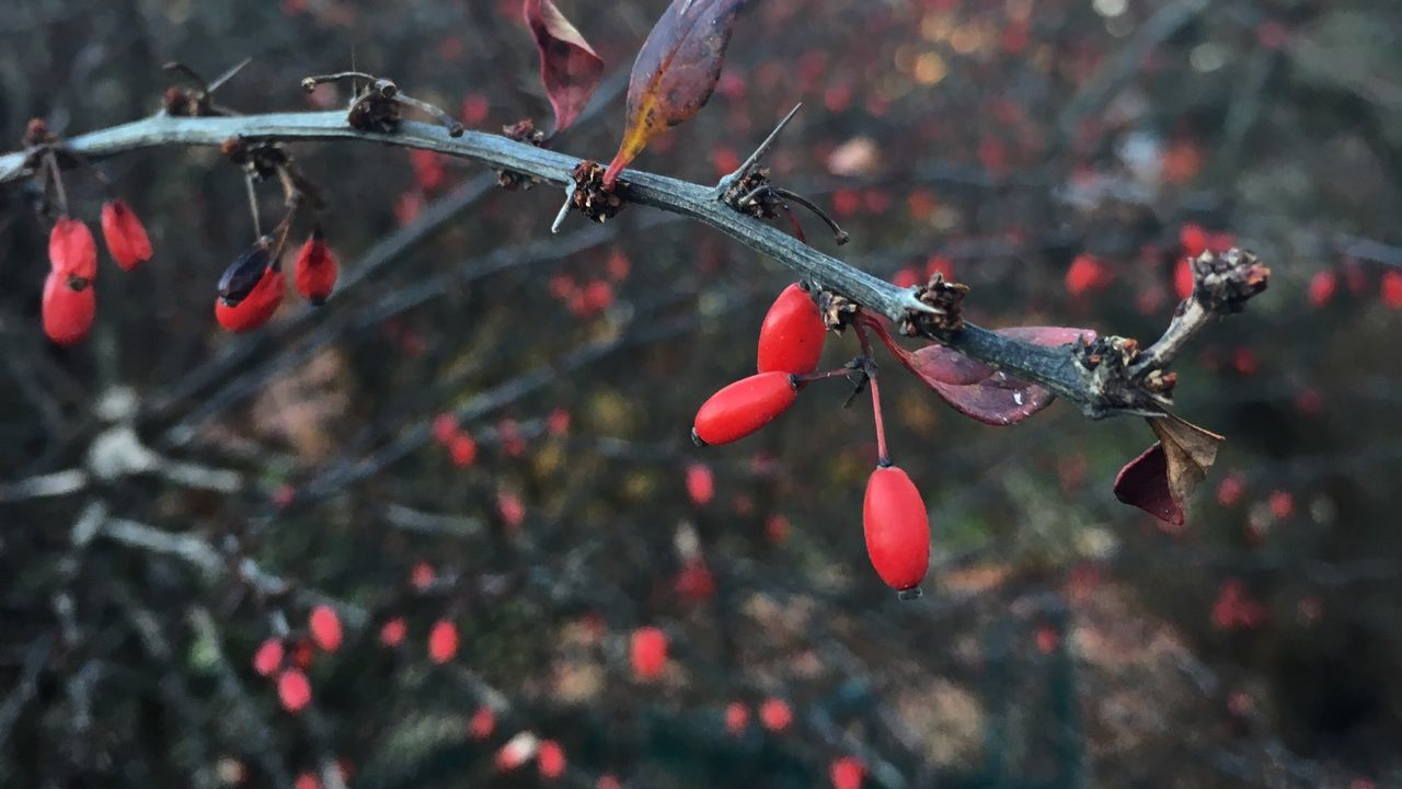 Winter is coming Winter Trees Red Fruits Barberry Berberis thunbergii f. atropurpurea