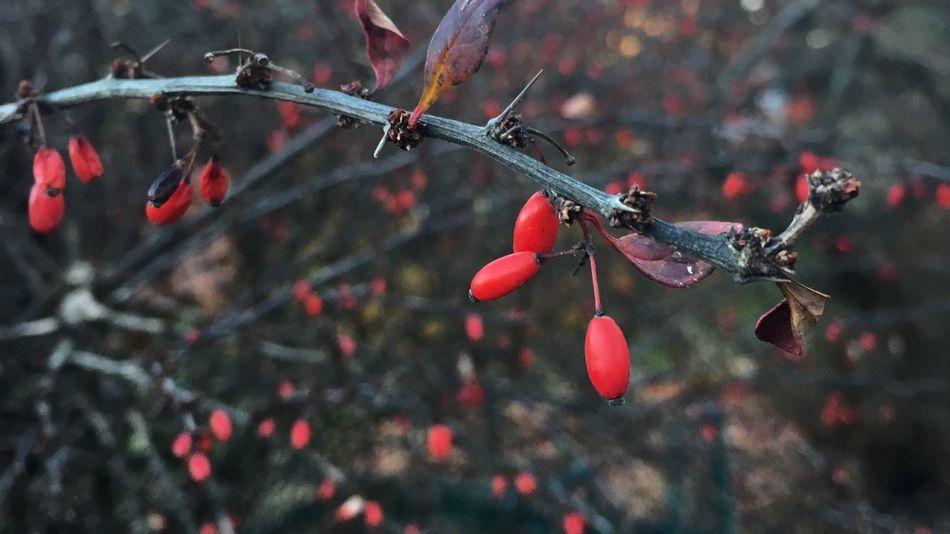 Winter is coming Winter Trees Red Fruits Barberry Berberis thunbergii f. atropurpurea
