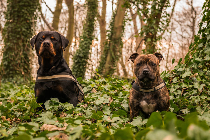 My two dogs, Blade and Cody Color Portrait Colors Green Nature Tree Trees WoodLand Colorful Dog Mansbestfriend Outdoors Rottweiler Rottweilerlove Sky Staffordshire Bull Terrier Staffy