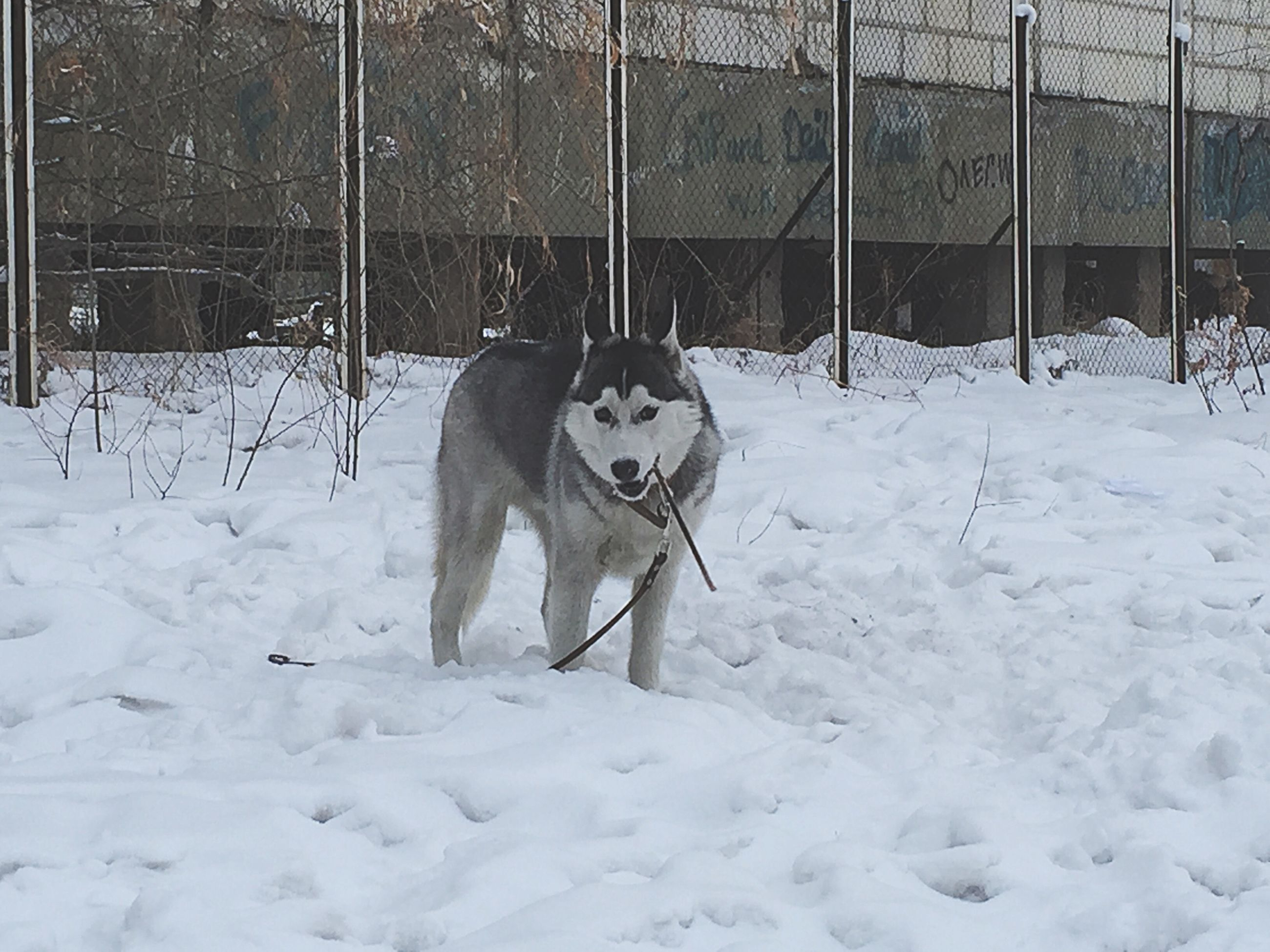 domestic animals, animal themes, mammal, pets, one animal, snow, dog, winter, cold temperature, season, white color, fence, full length, weather, standing, covering, field, pet leash, outdoors, day