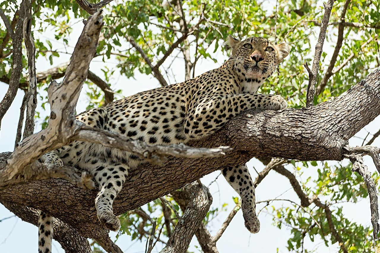Traveling Ampimages Photography Animal Wildlife Leopard Safari Krugernationalpark