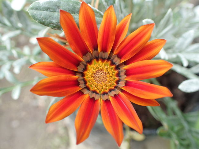 Beauty In Nature Blooming Close-up Flower Flower Head Fragility Gazania Nature Orange Color Petal