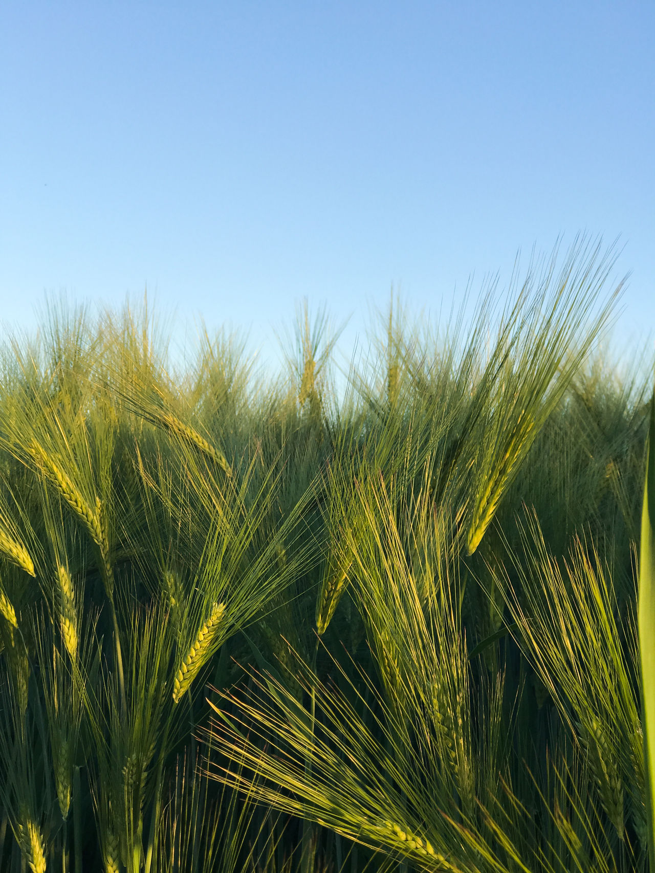 Agriculture Beauty In Nature Blue Cereal Plant Clear Sky Close Up Close-up Crop  Farm Field Freshness Green Color Growth Minimal Minimalism Minimalobsession Nature Outdoors Plant Rural Scene Sky The Great Outdoors - 2017 EyeEm Awards Food Minimalist Photography  Nature_collection iPhone crop