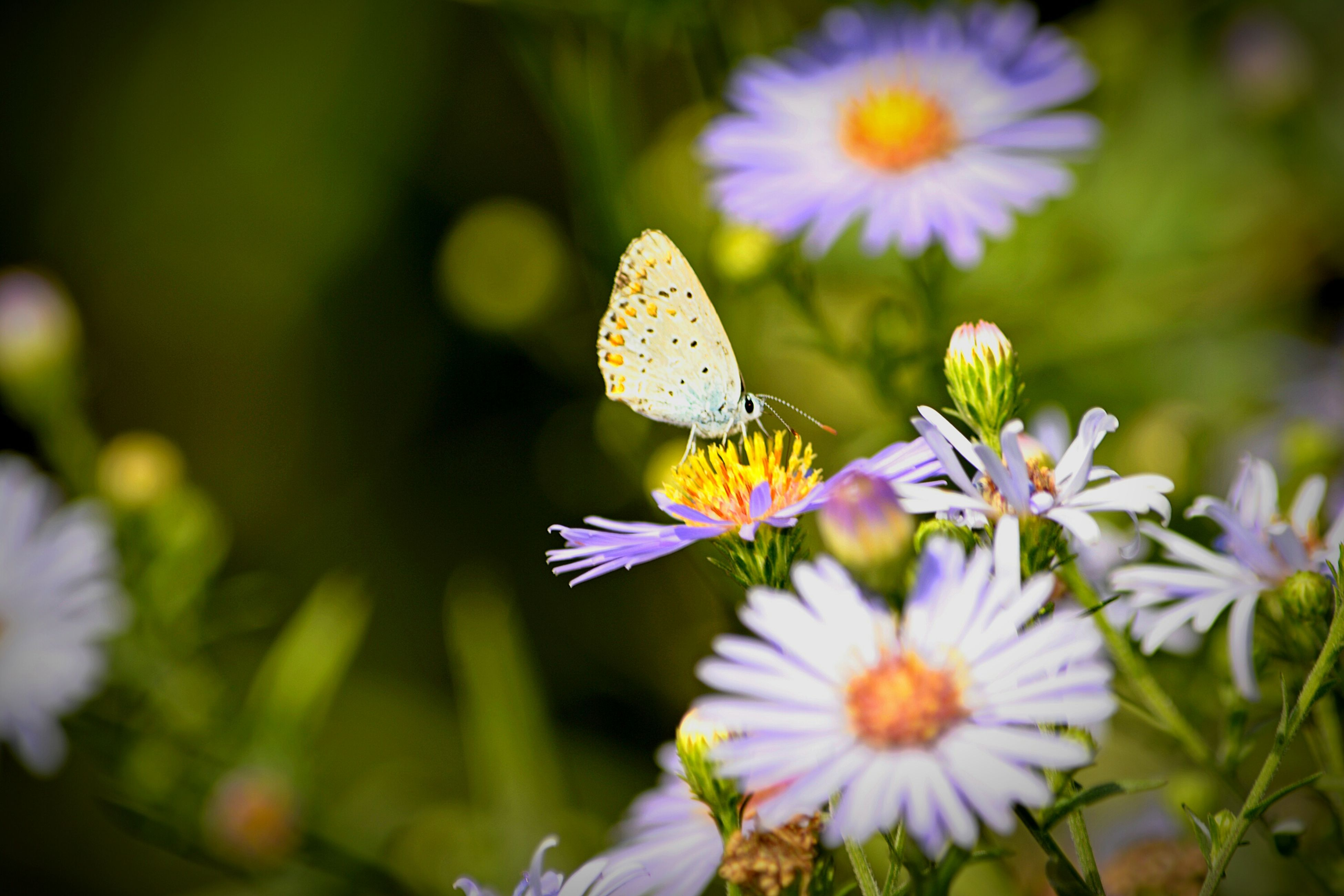 flower, beauty in nature, nature, fragility, insect, freshness, petal, growth, close-up, butterfly - insect, purple, outdoors, flower head, plant, day, no people, one animal, animal themes, animals in the wild, pollination