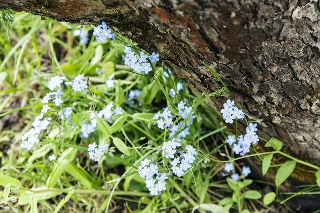 Forget Me Not Forget-me-not Forgetmenot Flowers Bark Tree Bark Flora Nature Nature Photography Estonian Nature Eesti Loodus незабудки цветы кора Природа фото природы флора природа эстонии