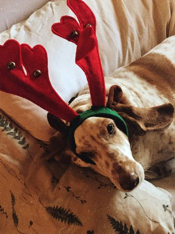 Merry Christmas Bassetdeer William Happyholidays MerryChristmas One Animal Domestic Animals Dog Close-up Pampered Pooch Ilovemybassethounds Bassetmoments Bassethoundadventures Bassethoundsare Best Iphonephotography