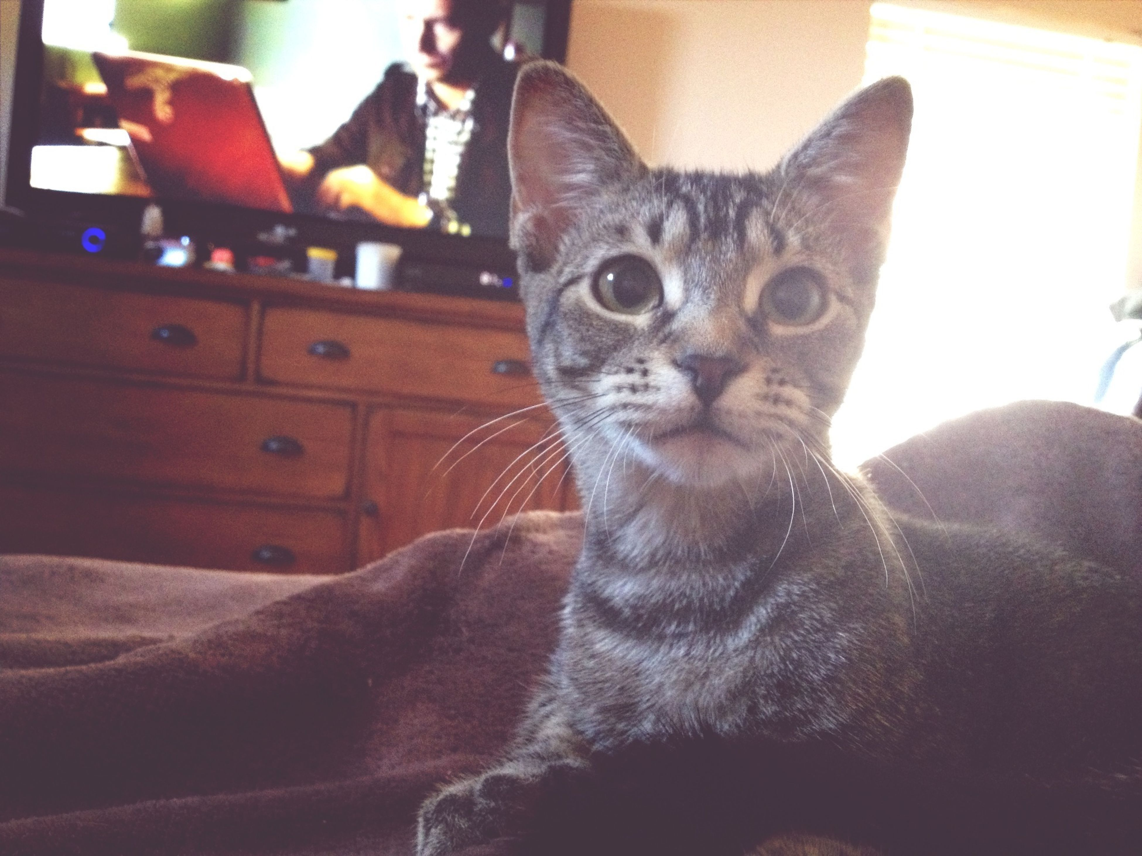 domestic cat, cat, pets, domestic animals, feline, indoors, one animal, mammal, animal themes, whisker, portrait, looking at camera, home interior, sitting, relaxation, staring, close-up, front view, alertness