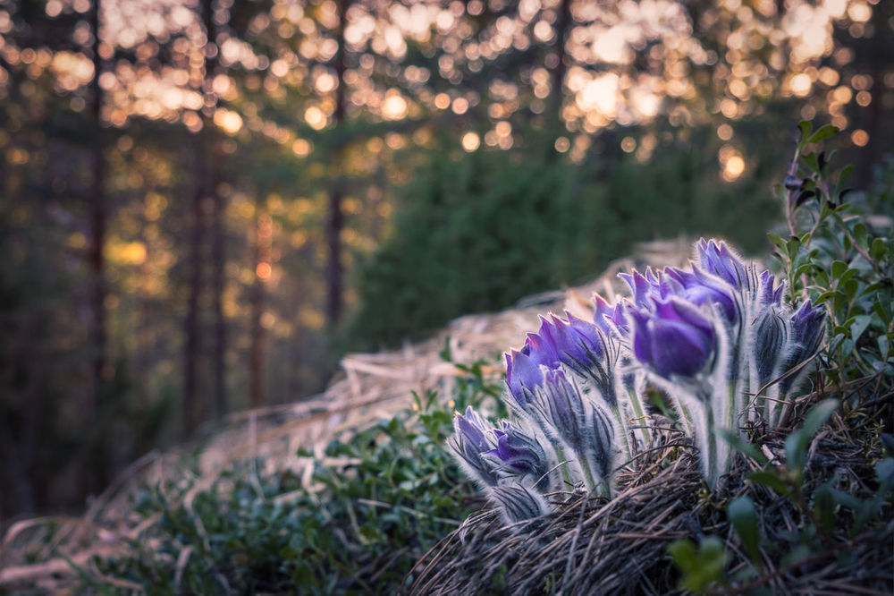 Pulsatilla patens flower at evening light in Finland Atmospheric Mood Beautiful Beauty In Nature Blooming Bokeh Close-up Evening Finland Floral Flower Flower Head Forest Freshness Green Growth Landscape Nature Nature No People Outdoors Plant Pulsatilla Purple Sunset Tree