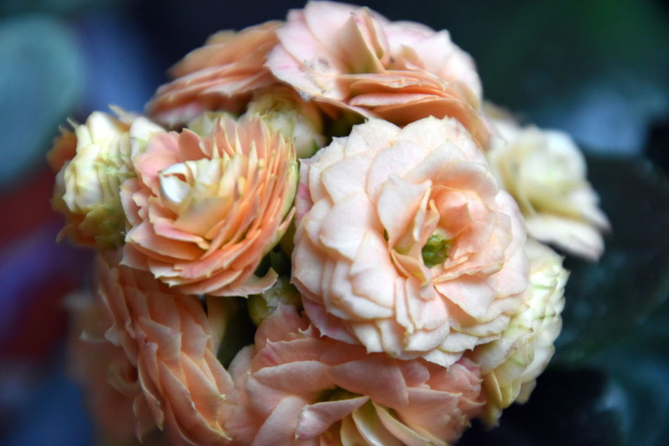 Apricot Blossom Apricot Flowers Beauty In Nature Blossom Close Up Close Up Flower Close Up Nature Close-up Day EyeEm Gallery EyeEm Nature Lover Flower Flower Head Fragility Kalanchoe Ladyphotographerofthemonth Nature No People Orange Color Pastel Pastel Colors Pastel Power Petal Pink Taking Photos