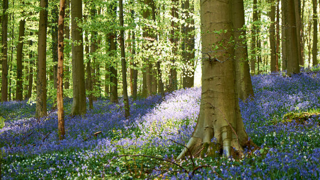 The marvelous Hallerbos / Bois de Hal - Abundance Beauty In Nature Bluebells Day Flower Forest Grass Green Color Growing Growth Hallerbos Idyllic Landscape Nature Optimistic Outdoors Scenics Spring Springtime Tranquil Scene Tranquility Tree The Great Outdoors With Adobe WoodLand Woods