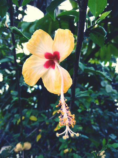 Kembang Sepatu Flower Fragility Flower Head Botany Nature Blossom Beauty In Nature Springtime Petal Tree Freshness Growth Close-up Plant Day No People Outdoors Branch Hibiscus