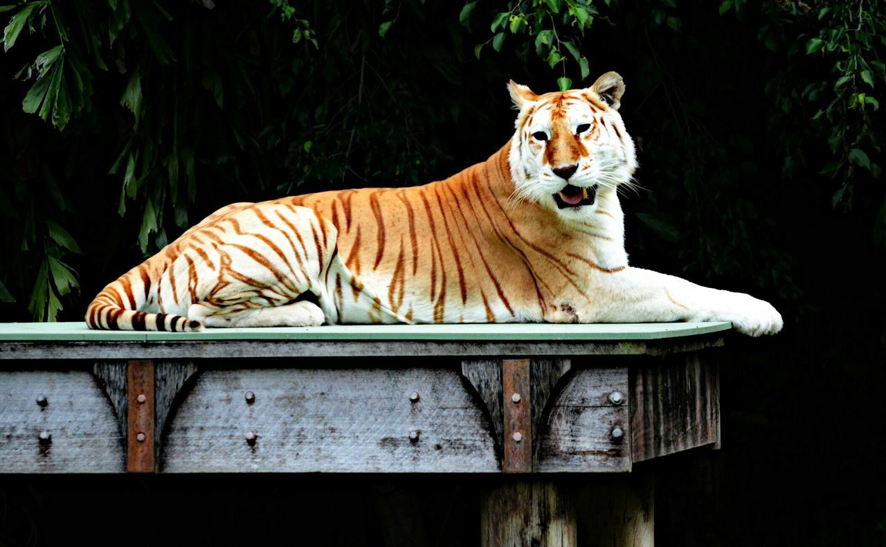 Tiger Relaxing In Zoo
