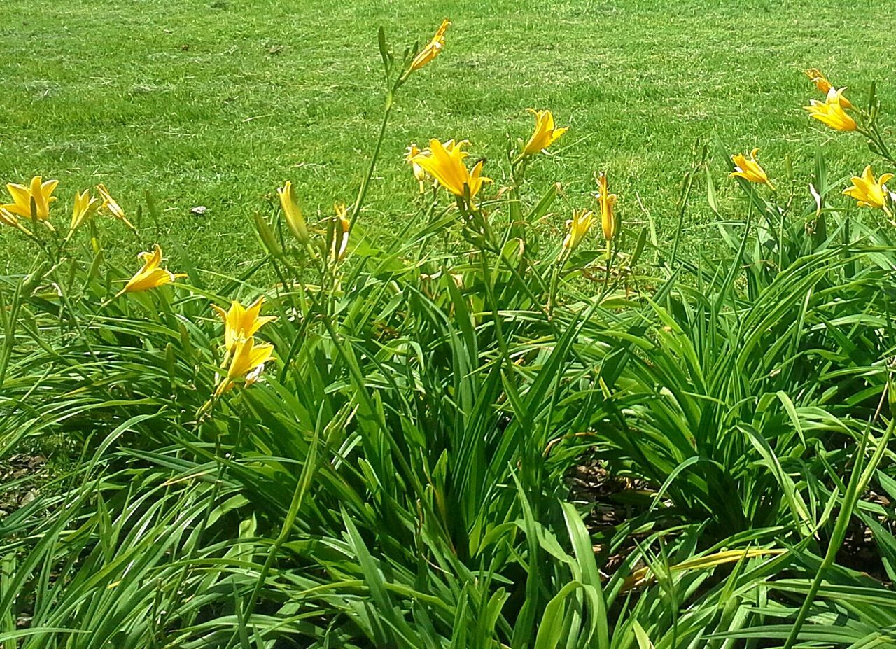 growth, flower, grass, yellow, field, nature, no people, plant, beauty in nature, green color, petal, outdoors, freshness, day, fragility, close-up, blooming, flower head
