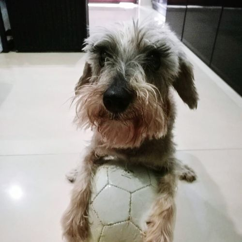 Pepper loves football Dog Pets Domestic Animals Animal One Animal Cute Portrait Indoors  Puppy Looking At Camera Animal Themes No People Mammal Day Close-up Schnauzer Schnauzerlife Schnauzersofinstagram