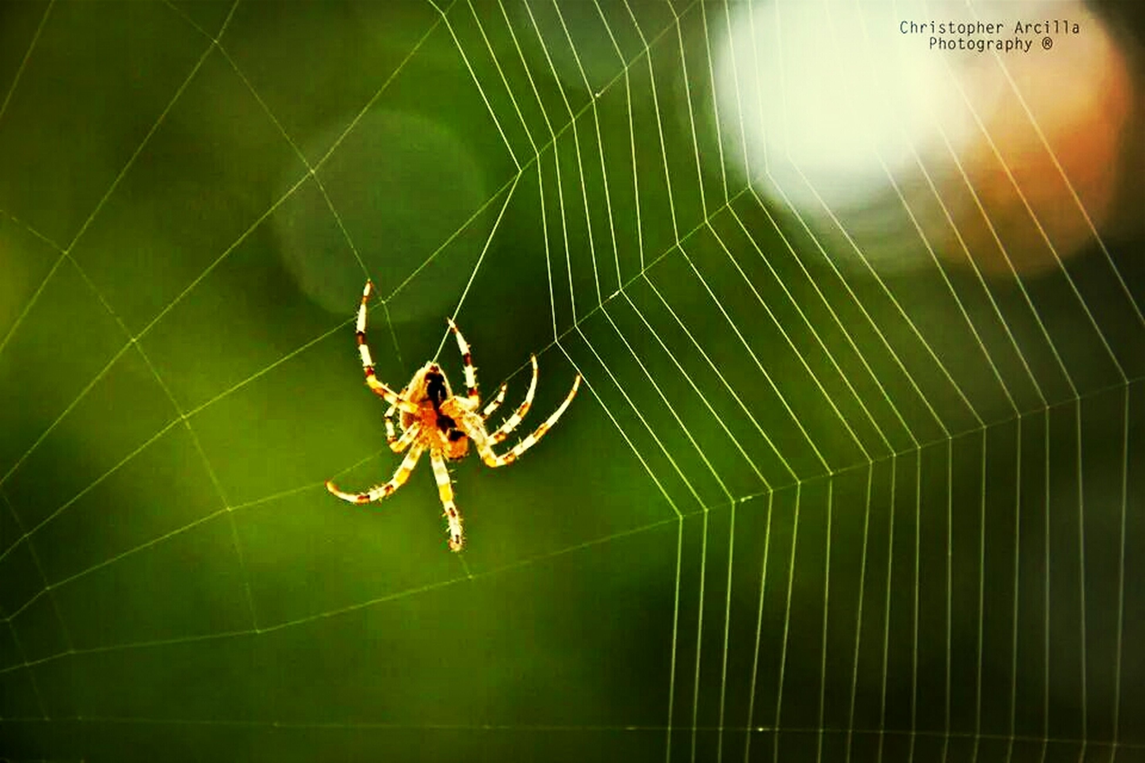 animal themes, one animal, insect, animals in the wild, wildlife, spider, spider web, close-up, focus on foreground, selective focus, nature, zoology, full length, day, green color, outdoors, no people, arachnid, web