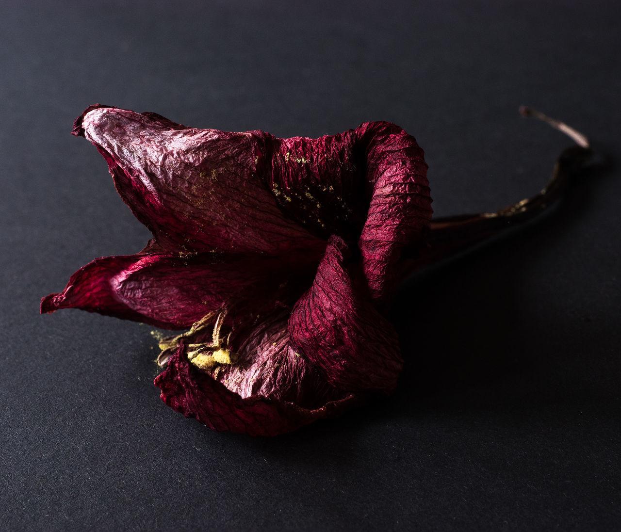Amaryllis Flower Close-up Dark Dead Flower Dried Flowers Flower Gray Background No People Red Studio Shot