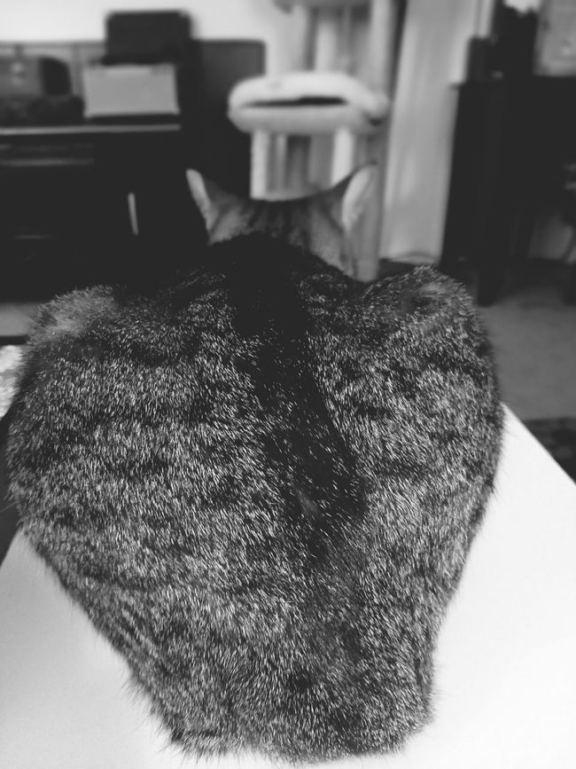 Heart shaped butt. Catbutt Softlight Photography Shooting Photos Cellphone Photography MyPhotography Coffeetable TabbyCat Crazycat  Eyeofthebeholder Photography Tucson Az Beauty In Ordinary Things Indoors  Mycat Cat Toy Living Room Frombehind Carpet Cattree Apartment Reluctant Model Kissmyass Nae Lovehaterelationship