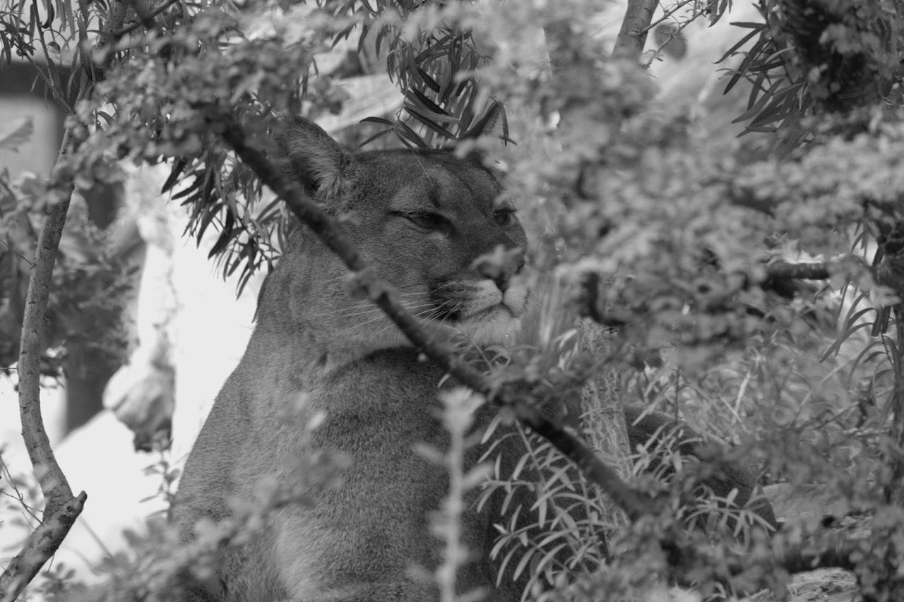 Beautiful stock photos of puma, Animal Themes, Animal Wildlife, Animals In The Wild, Close-Up