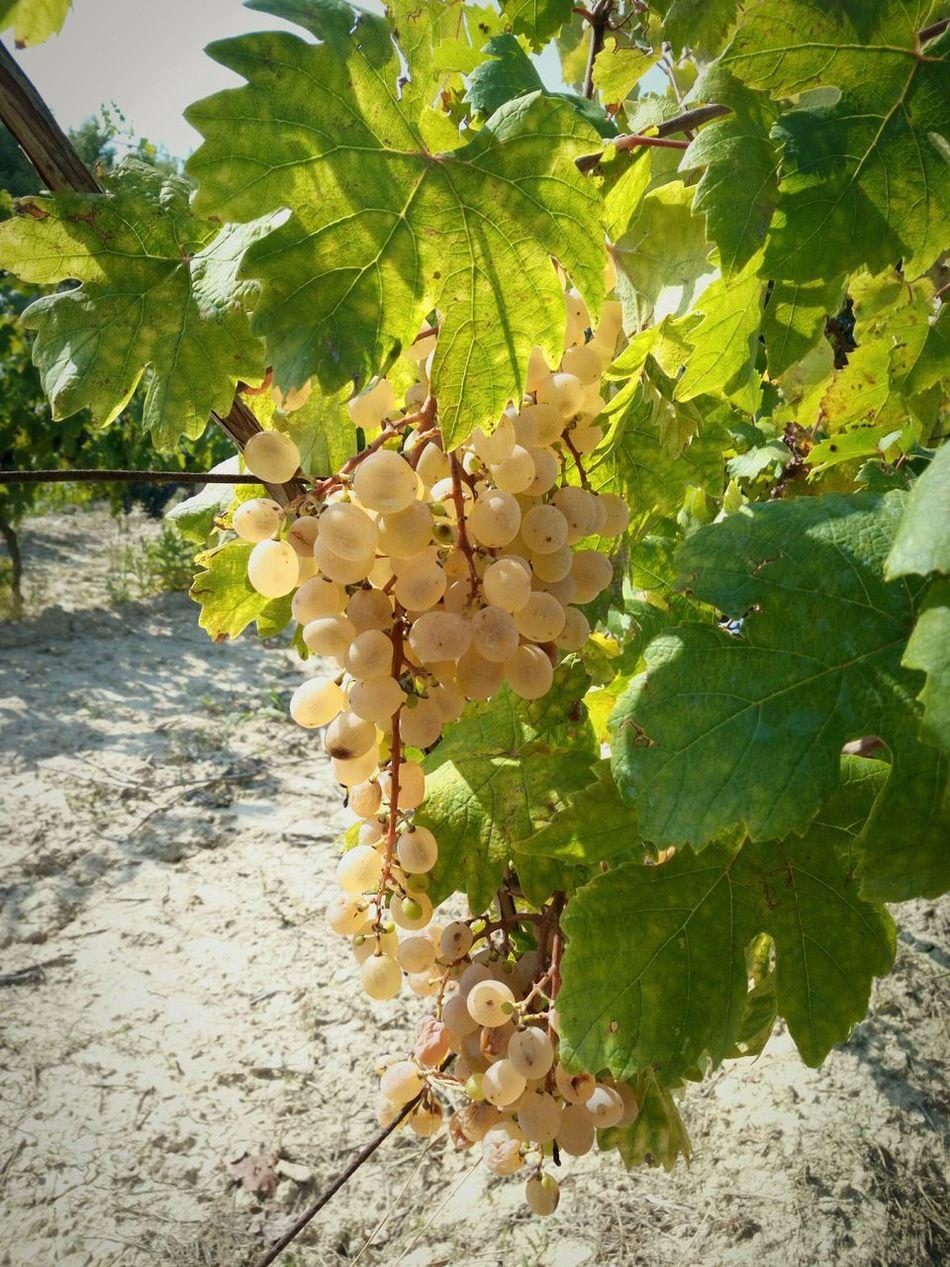 Beauty In Nature Vendemmia Grapeleaves Whitegrape Uva Vigna Countryside September Tuscany