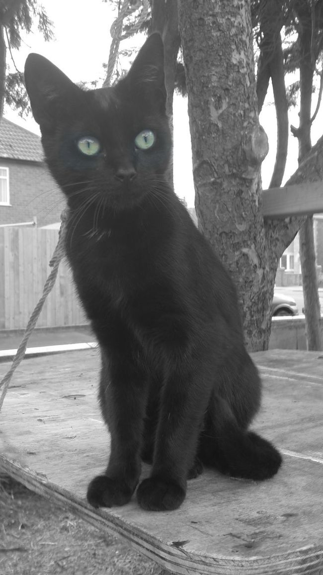Animal Animal Themes Blackandwhite BLackCat Cat Day Domestic Animals Full Length Looking At Camera Mammal Nature No People One Animal Outdoors Pets Portrait Tree Tree Trunk