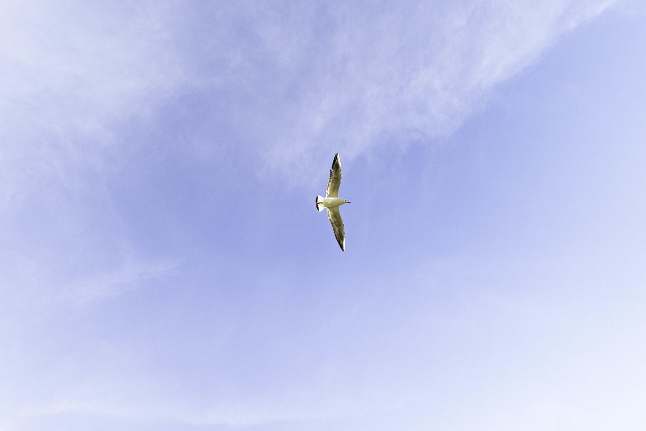 flying, low angle view, one animal, animals in the wild, sky, spread wings, mid-air, bird, animal themes, day, animal wildlife, nature, outdoors, no people, bird of prey