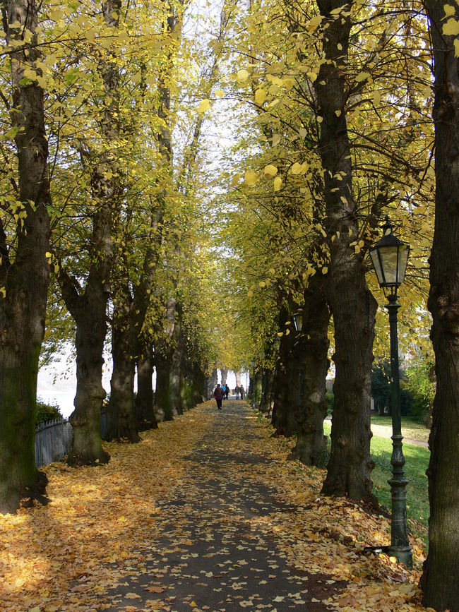 Autumn Autumn Colors Beauty In Nature Kaiserswerth Nature Outdoors Scenics The Way Forward Tree Walking