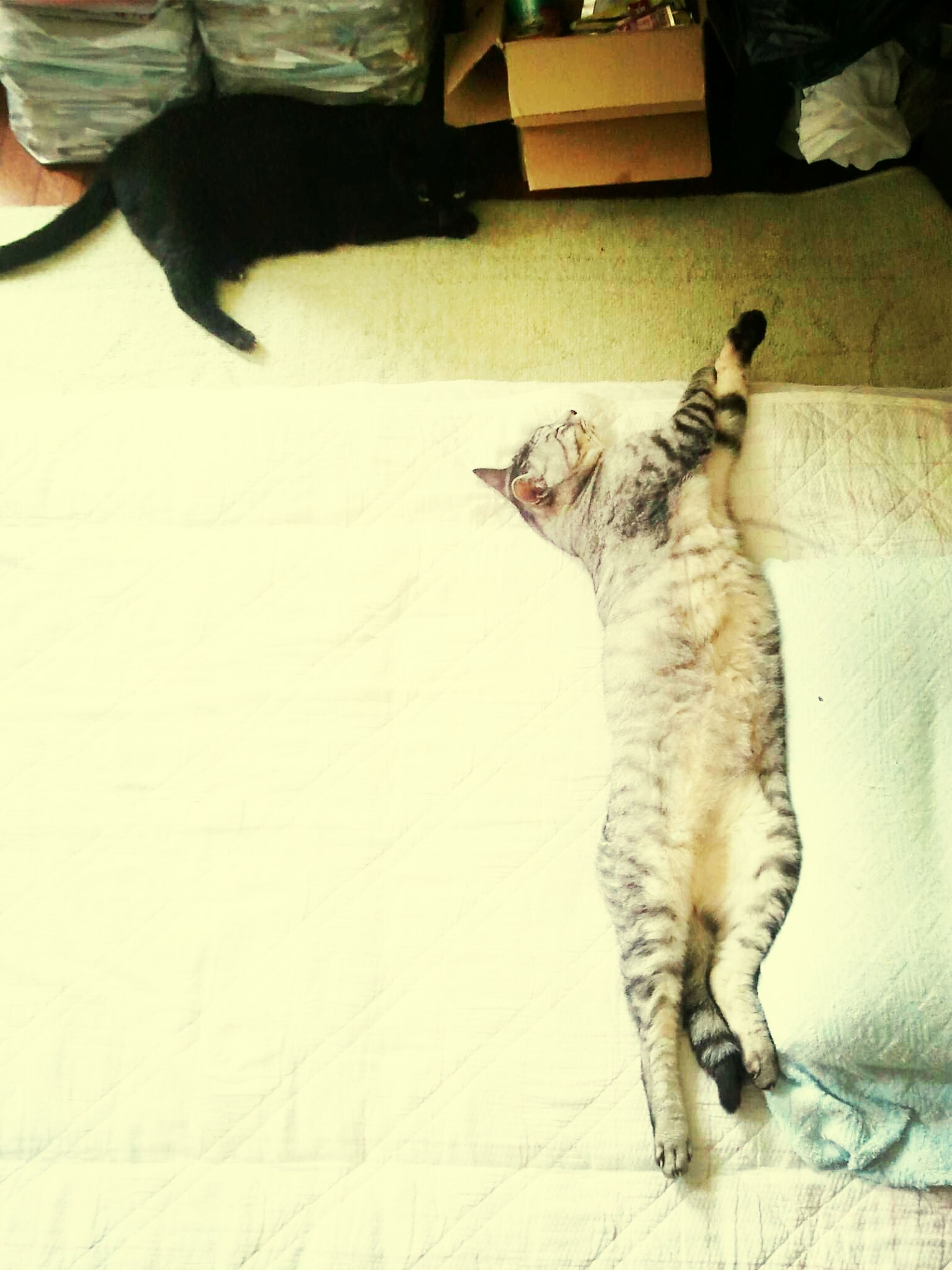 domestic animals, pets, animal themes, mammal, one animal, indoors, domestic cat, cat, relaxation, feline, lying down, home interior, resting, dog, two animals, full length, high angle view, sitting, home, flooring
