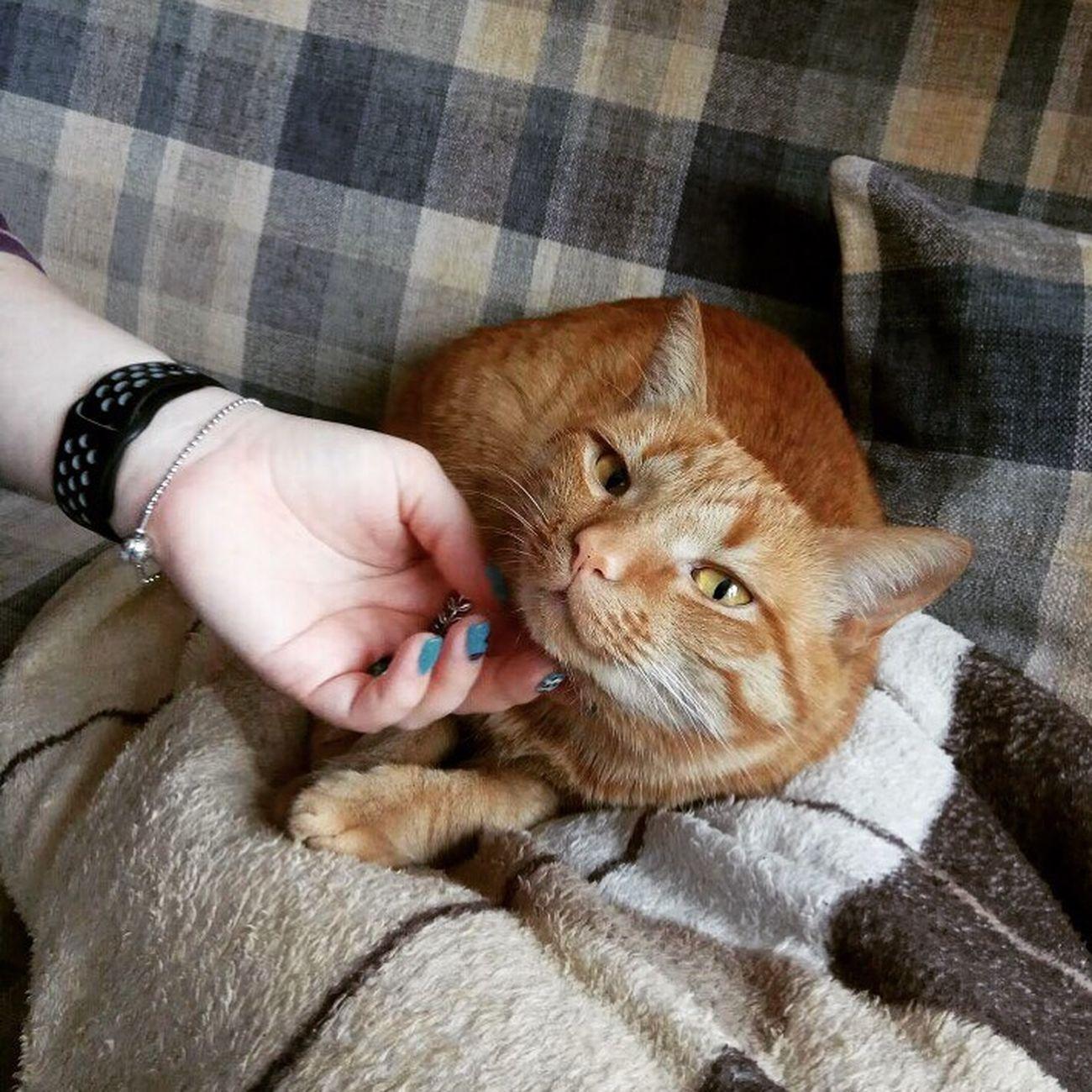 🐱 Domestic Cat One Animal Pets Ginger Cat Cat Cutie