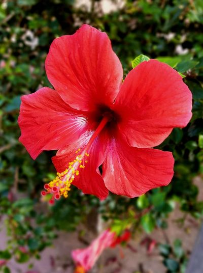 Red flower Flower Petal Hibiscus Red Beauty In Nature Nature