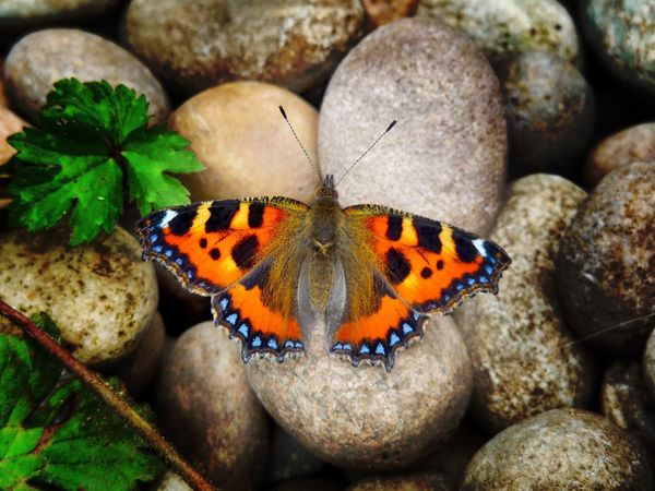 In my Garden Orange Tortoiseshell Butterfly Multi Colored Animal Markings Nature Close-up Beauty In Nature Natural Pattern Outdoors Focus On Foreground Selective Focus Day Animal Elevated View