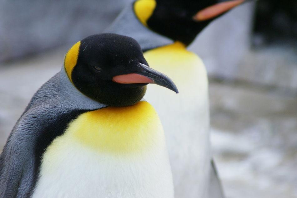 Beautiful stock photos of penguin, Animal Markings, Animal Themes, Animal Wildlife, Animals In The Wild