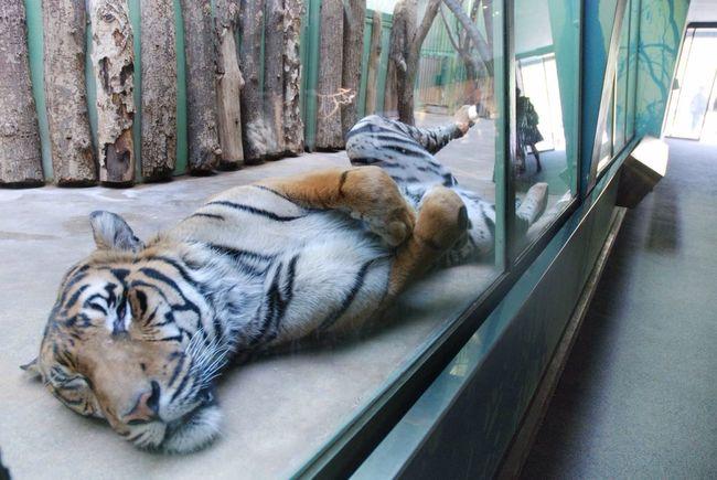 Sleepy Tiger Zoo