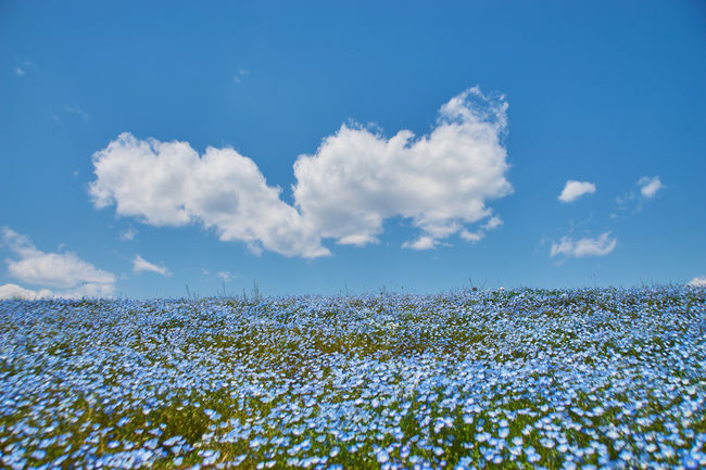 Beauty In Nature Blue Blue Sky Cloud And Sky Cloudporn EyeEm Nature Lover Field Fragility Horizon Over Land Landscape Nature Nature Photography Nemophila No People Plant Sky Skyporn