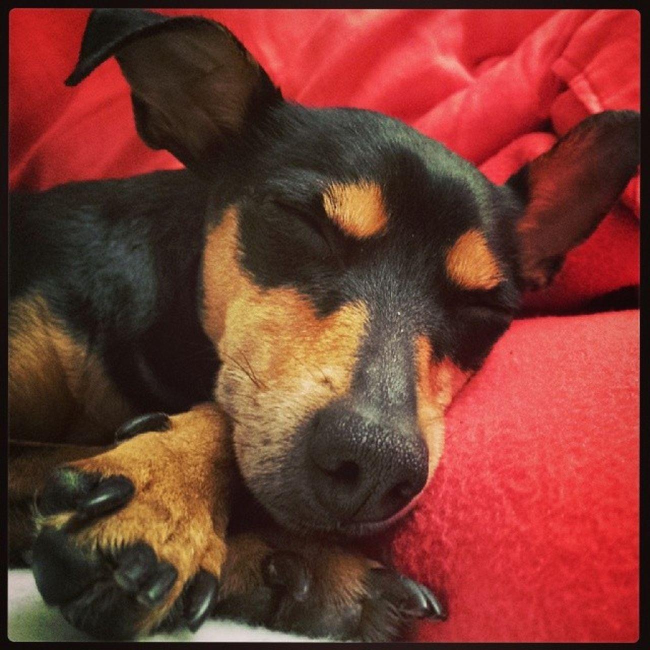 Pinscher Pincher Minipincher Minipinscher Zwergpinscher Zwerpincher Puppy Pet Dog Cute Happy Sleep Bestanimal Bestanimalvines Audrey Rescuedog Adopted