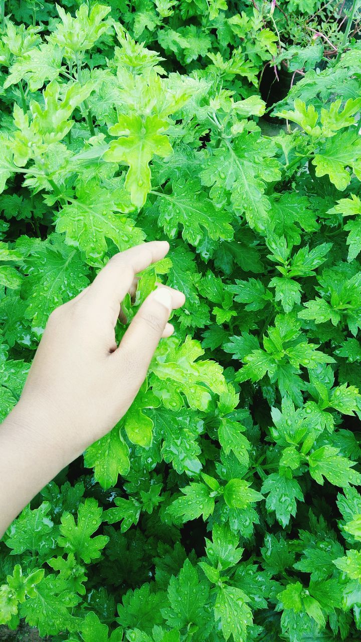 human hand, human body part, human finger, plant, green color, growth, leaf, one person, holding, real people, nature, outdoors, close-up, freshness, day, people