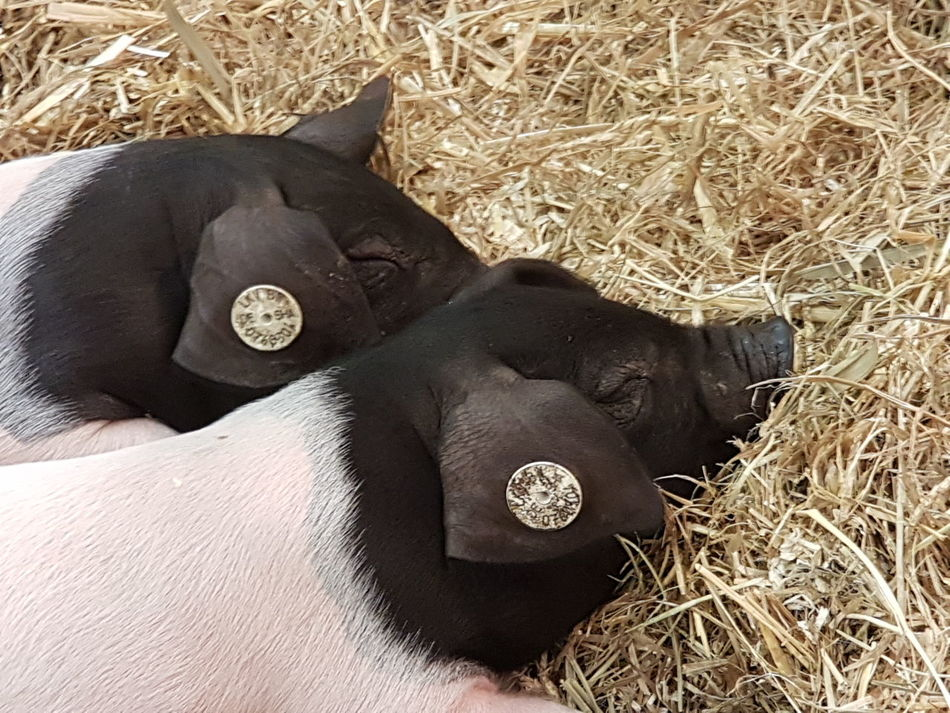 Animal Body Part Nature Meat Processing Cover Piggies! Piggy Pork Pig Swine Piggies Animal Photography Meat Market Meat! Meat! Meat! Farming Agriculture Photography Agriculture Animal Skin Animal Farm Animal Themes Background Animals Sleeping Pig Sleeping Animals